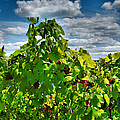 Grape Vines Up Close Poster by Steven Ainsworth