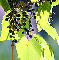grapes and leaves Poster by Michal Boubin