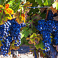 Grapes ready for harvest Poster by Garry Gay