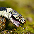 Grass Snake Feigning Death Print by Andy Harmer