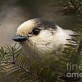 Gray Jay Playing Peek a Boo Print by Inspired Nature Photography By Shelley Myke