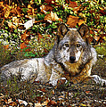 Gray Wolf in Autumn Poster by Sandy Keeton