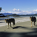 Gray Wolves On Beach Print by Joel Sartore