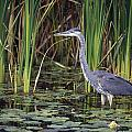 Great Blue Heron Poster by Natural Selection David Spier