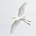 Great Egret Taking Off Print by bmse