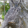 Great Horned Owl II Print by Athena Mckinzie