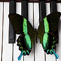 Green and black butterfly on piano keys Print by Garry Gay