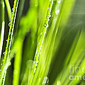Green dewy grass  Poster by Elena Elisseeva