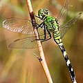 Green Dragonfly Closeup Poster by Carol Groenen