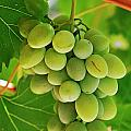 Green grape and vine leaves Poster by Sami Sarkis