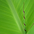 Green Leaf with Spiral New Growth Poster by Nikki Marie Smith