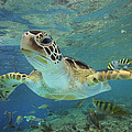 Green Sea Turtle Chelonia Mydas Poster by Tim Fitzharris