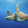 Green Sea Turtle Poster by James R.D. Scott