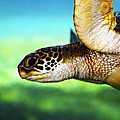 Green Sea Turtle Print by Marilyn Hunt