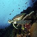 Green Sea Turtle Resting On A Plate Print by Mathieu Meur
