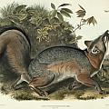 Grey Fox Poster by John James Audubon