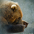 Grizzly Bear Lying Down Poster by Betty LaRue