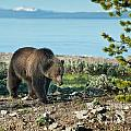 Grizzly Sow at Yellowstone Lake Poster by Sandra Bronstein
