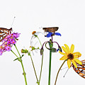 Gulf Fritillary And Brown Skipper Poster by Jim McKinley