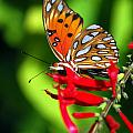 GULF FRITILLARY by Skip Willits