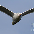Gull In Flight . 7D12082 Print by Wingsdomain Art and Photography