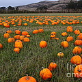 Halloween Pumpkin Patch 7D8388 Poster by Wingsdomain Art and Photography
