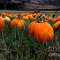 Halloween Pumpkin Patch 7D8405 Poster by Wingsdomain Art and Photography