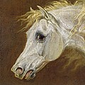 Head of a Grey Arabian Horse  Poster by Martin Theodore Ward
