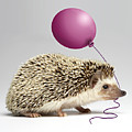 Hedgehog Holding Balloon In Mouth, Close-up Poster by American Images Inc