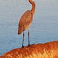 Heron on palm Poster by David Lee Thompson