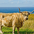 Highland Cow Poster by Chris Thaxter