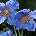 Himalayan Poppy (meconopsis Grandis) Poster by Dr Keith Wheeler