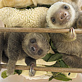 Hoffmanns Two-toed Sloth Orphaned Babies Poster by Suzi Eszterhas