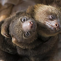 Hoffmanns Two-toed Sloth Orphans Hugging Print by Suzi Eszterhas