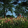 HollyHocks and Trees Print by Michael L Kimble