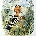 Hoopoe Print by Edouard Travies