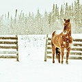 Horse In A Snowstorm Poster by Roberta Murray - Uncommon Depth