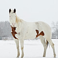 Horse In Snow Print by Jesse James Photography