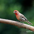 House Finch Bird . 40D7316 Poster by Wingsdomain Art and Photography
