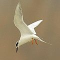 Hovering Tern Print by Robert Frederick