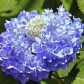 Huge Hydrangea Poster by Al Powell Photography USA