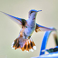 Hummingbird at the Feeder Print by Shirley Tinkham