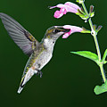 Hummingbird Feeding On Pink Salvia Poster by DansPhotoArt on flickr