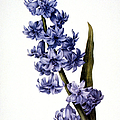 HYACINTH Print by Granger