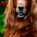 Irish Setter I Poster by Jenny Rainbow