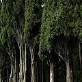 Italian Cypress Trees Line A Road Print by Todd Gipstein