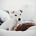 Jack Russell Terrier Puppy With His Owner Print by Lifestyle photographer