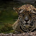 Jaguar in the Water Poster by Sandy Keeton
