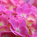 Japan, Kanagawa Prefecture, Sagamihara City, Close-up Of Pink Flowers Poster by imagewerks