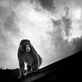 Japanese Macaque On Roof Print by By Daniel Franco